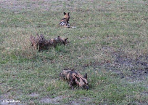 Botswana Dogs 3