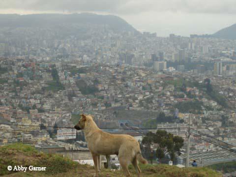Stray Dog, Quito, Ecuador