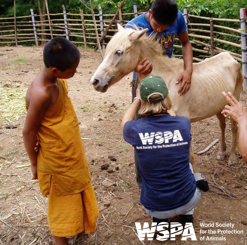 Lampang Pony Welfare Organization (c) WSPA